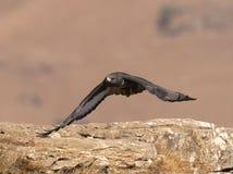 Afrykańskiego szakala myszołowa latająca depresja nad skałami Obrazy Stock