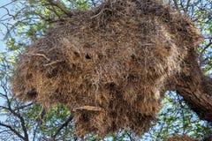 Afrykańskiego towarzyskiego tkacza duży gniazdeczko na drzewie Obraz Stock