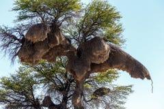 Afrykańskiego towarzyskiego tkacza duży gniazdeczko na drzewie Zdjęcie Royalty Free