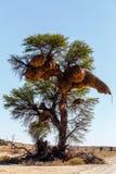 Afrykańskiego zamaskowanego tkacza duży gniazdeczko na drzewie Zdjęcia Royalty Free