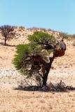 Afrykańskiego zamaskowanego tkacza duży gniazdeczko na drzewie Zdjęcia Stock