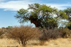 Afrykańskiego zamaskowanego tkacza duży gniazdeczko na drzewie Obraz Stock