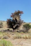 Afrykańskiego zamaskowanego tkacza duży gniazdeczko na drzewie Zdjęcie Stock