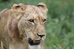 Afrykańskiej lwicy chodzący zbliżenie patrzeje z lewej strony Zdjęcia Royalty Free