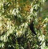 Afryka Żeński Południowy Kołnierzasty Sunbird na Białych kwiatach fotografia royalty free