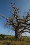 Afryka baobab Zdjęcia Stock