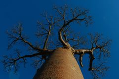 Afryka drzewo Obraz Royalty Free