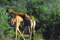 Afryka Dwa żyrafy bój dla Matować przywileje Zdjęcie Stock