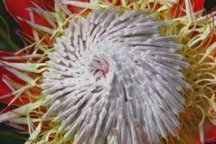 Afryka Geometryczny wzór centrum królewiątka Protea Fotografia Stock