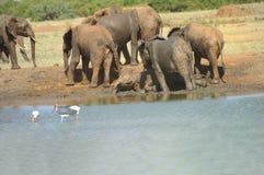 Afryka, Kenja, zoologia Zdjęcie Royalty Free