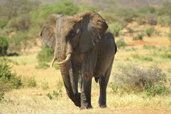 Afryka, Kenja, zoologia Obrazy Royalty Free