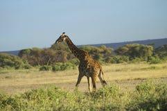 Afryka, Kenja, zoologia Zdjęcia Stock