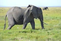 Afryka, Kenja, zoologia Obraz Stock
