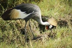 Afryka, Kenja, zoologia Zdjęcia Royalty Free