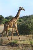 Afryka, Kenja, zoologia Fotografia Stock