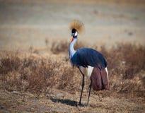 Afryka Królewski żuraw Fotografia Royalty Free