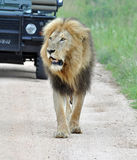 Afryka lew Zdjęcie Royalty Free