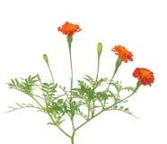 Afryka nagietka kwiat Zdjęcia Stock