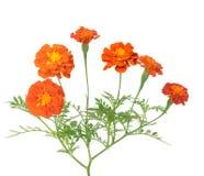 Afryka nagietka kwiat Zdjęcia Royalty Free