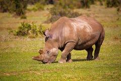Afryka nosorożec, Kenja, Afryka Fotografia Stock