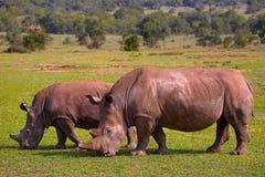 Afryka nosorożec, Kenja, Afryka Zdjęcia Stock