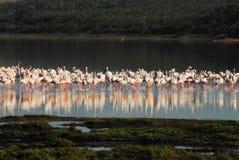 Afryka Pięknie Odbijający flamingi zdjęcia stock