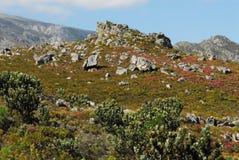 Afryka Piękny krajobraz Kolorowy Fynbos i WildFlowers Zdjęcia Royalty Free
