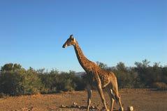 Afryka Pojedyncza żyrafa w pustyni Południowa Afryka Zdjęcie Royalty Free