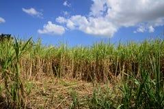 Afryka, pole trzcina cukrowa w Mauritius Zdjęcia Stock