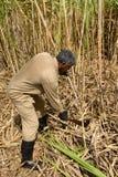 Afryka, pole trzcina cukrowa w Mauritius Fotografia Stock