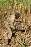Afryka, pole trzcina cukrowa w Mauritius Obraz Stock