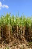 Afryka, pole trzcina cukrowa w Mauritius Zdjęcia Royalty Free