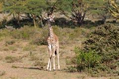 Afryka przyroda, dziecko żyrafa w sawannie Zdjęcie Stock