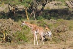 Afryka przyroda, dziecko żyrafa w sawannie Zdjęcia Stock