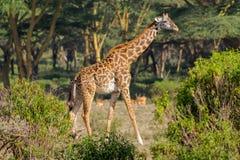 Afryka przyroda, dziecko żyrafa w sawannie Zdjęcie Royalty Free