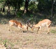 Afryka przyroda: Impala Fotografia Royalty Free