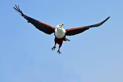 Afryka Rybi Eagle Obraz Royalty Free