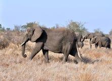 Afryka słoń Fotografia Stock