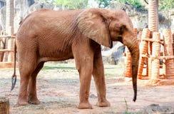 Afryka słonia boczny widok na lecie Zdjęcia Royalty Free