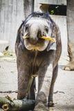 Afryka safari, dziecko słoń bawić się z belą drewno Zdjęcia Stock