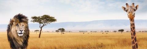 Afryka safari sieci chodnikowa żyrafa i lew Obrazy Royalty Free