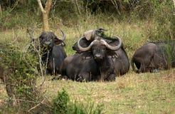 Afrykańscy bizony odpoczywa na ziemi Obraz Royalty Free