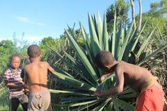 Afrykańscy dzieci zbiera dzikiego aloesu Vera w Swaziland Zdjęcia Royalty Free