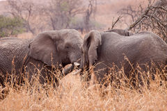 Afrykańscy giganty Zdjęcia Stock