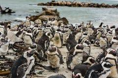 Afrykańscy Jackass pingwiny Zdjęcie Royalty Free