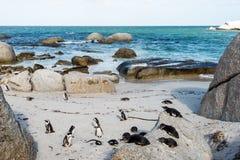Afrykańscy Jackass pingwiny Obraz Stock
