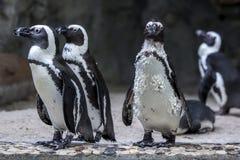 Afrykańscy (Jackass) pingwiny przy Singapur zoo w Singapur Zdjęcie Royalty Free