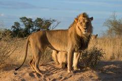 afrykańscy lwy Fotografia Stock