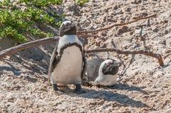 Afrykańscy pingwiny Obrazy Royalty Free