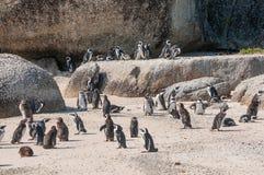 Afrykańscy pingwiny Zdjęcia Stock